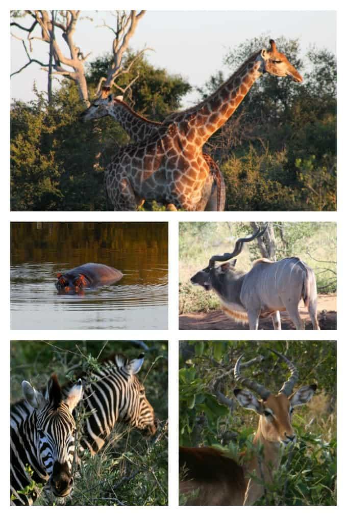 collage of giraffes, hippo, kudu, zebra and impala