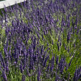lavender field at the Sequim lavender festival