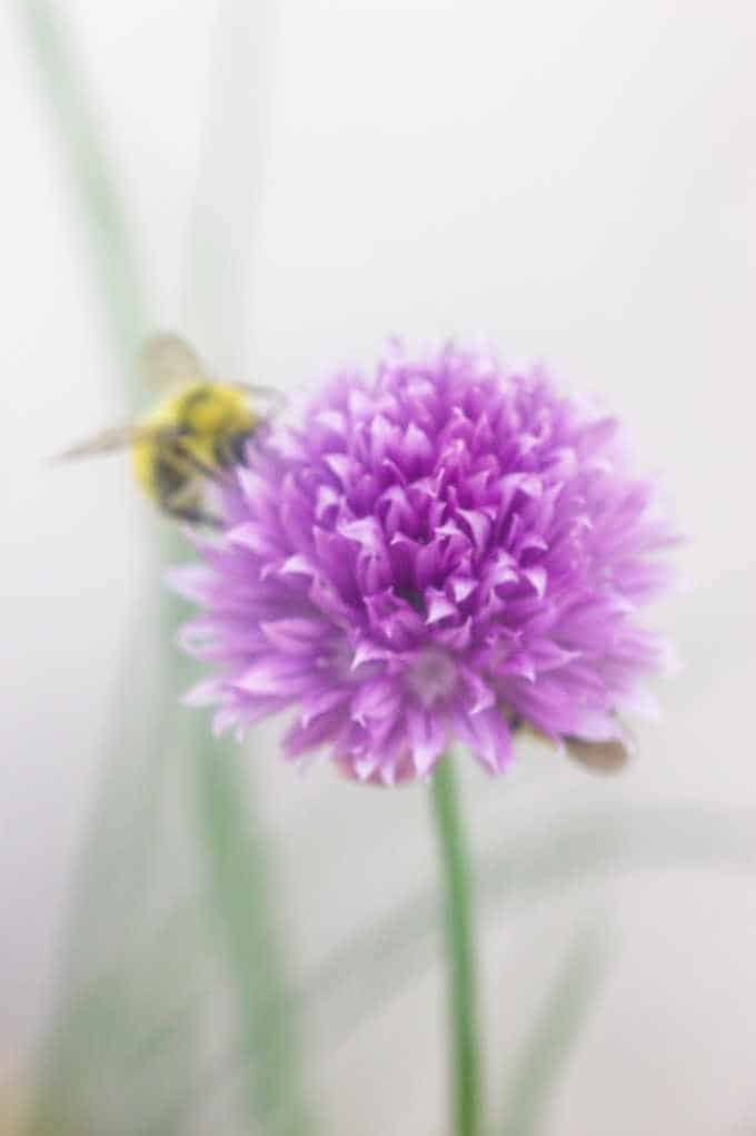 Chive blossom with bee