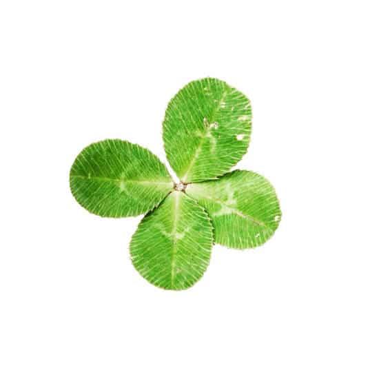 photo of a four leaf clover